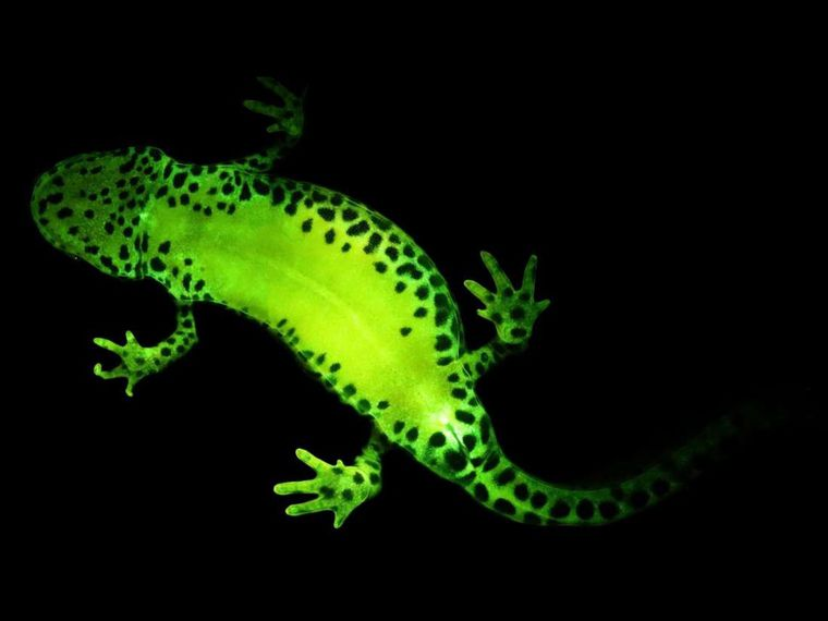 Amphibians that glow in the dark are more common than previously thought